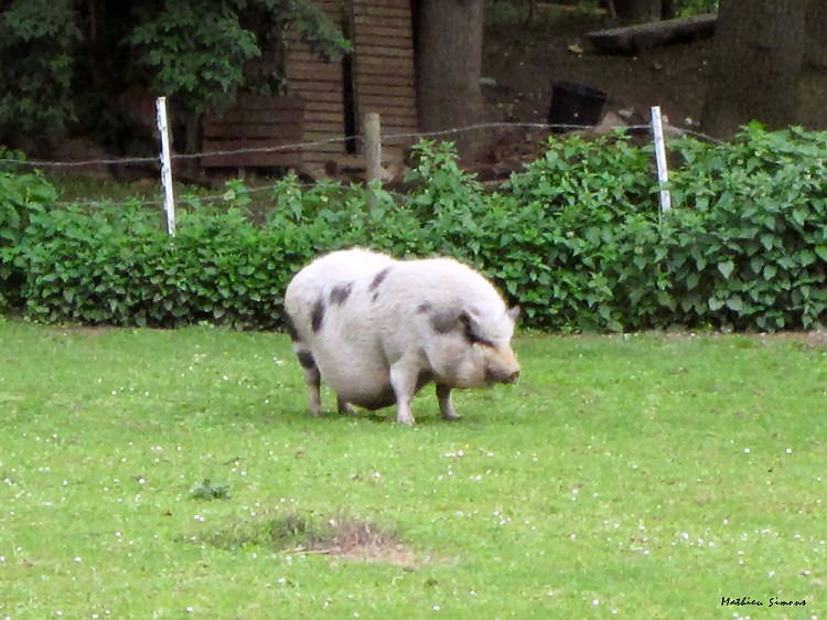 1000 Images About Hangbuikzwijn Potbelly Pig On Pinterest